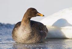 Bobowa gąska na lodowatej rzece Obrazy Royalty Free