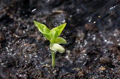Bobowa roślina Zdjęcia Stock