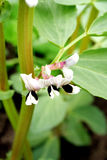 bobowa szeroka roślina Fotografia Stock