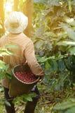 bobowy kawowy świeży Fotografia Stock