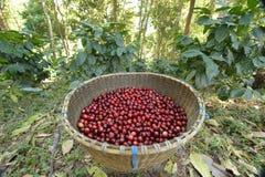 bobowy kawowy świeży obraz stock