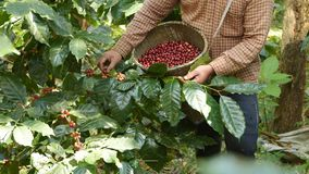 bobowy kawowy świeży zdjęcia royalty free