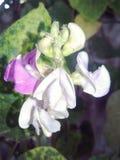 Bobowy kwiat obrazy stock