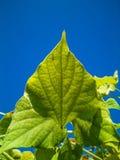 Bobowy liść i niebo Fotografia Stock
