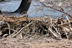 Bobrów drzewa blisko halnego strumienia i tama fotografia stock
