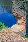 bobrów pas ruchu Zdjęcia Royalty Free