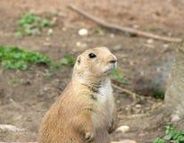 bobrów zwierzęcy wyrażenia obraz stock