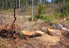 Bobra drzewo Obrazy Stock