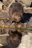 bobra krawędzi s woda Fotografia Royalty Free
