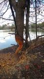 bobra szkody kęsek z drzewa Fotografia Royalty Free