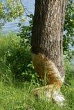 bobra znak Zdjęcie Royalty Free