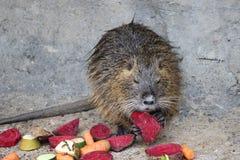 Bobroszczur który je warzywa Zdjęcia Royalty Free