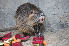 Bobroszczur który je warzywa Zdjęcie Stock