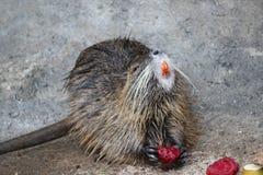 Bobroszczur który je warzywa Fotografia Royalty Free