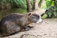Bobroszczur lub nutrie Obraz Stock