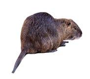 Bobroszczur na bielu z cieniem Zdjęcia Stock