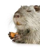 bobroszczur nutrie Fotografia Royalty Free