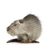 bobroszczur nutrie Zdjęcia Royalty Free