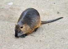 Bobroszczur, także znać jako nutrie Zdjęcie Stock