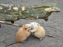 Bobroszczur, także znać jako nutrie Obraz Royalty Free