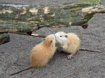 Bobroszczur, także znać jako nutrie Obrazy Royalty Free