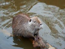 Bobroszczur, także znać jako nutrie Obrazy Stock