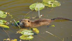 Bobroszczur w wodzie Obrazy Royalty Free