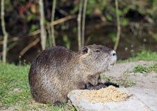 Bobroszczura karmić Obraz Royalty Free
