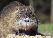 Bobroszczura karmić Obrazy Royalty Free