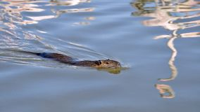 Bobroszczura pływać zdjęcie stock