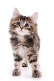 bobtail γατάκι kuril Στοκ εικόνες με δικαίωμα ελεύθερης χρήσης