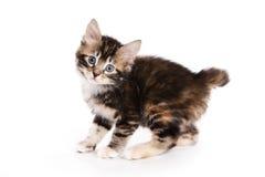 bobtail γατάκι kuril Στοκ Φωτογραφίες