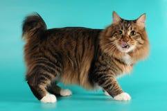 bobtail γλείψιμο γατών οι ίδιες στοκ φωτογραφία με δικαίωμα ελεύθερης χρήσης