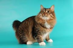 bobtail η γάτα κάθεται στοκ φωτογραφίες
