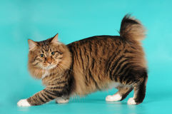 bobtail πορτρέτο γατών Στοκ φωτογραφία με δικαίωμα ελεύθερης χρήσης