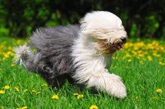 bobtail волосатый Стоковые Изображения