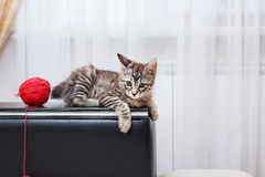 Bobtail cat is gray. Royalty Free Stock Photography