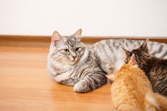Bobtail cat and kittens. Stock Images