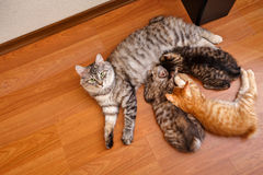 Bobtail cat and kittens. Stock Image