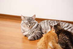 Bobtail cat and kittens. Royalty Free Stock Photography