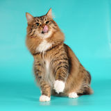 Bobtail cat licks itself portrait Royalty Free Stock Images