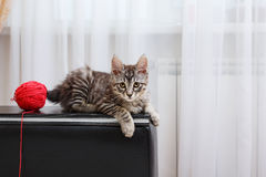 Bobtail cat lying. Royalty Free Stock Photography
