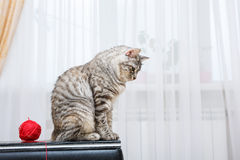 Bobtail cat sits. Royalty Free Stock Images