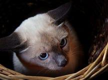 Bobtail del Mekong (gatto) 3 Fotografia Stock