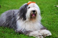 Bobtail dog. Big bobtail dog (breed - old english sheepdog) lying on the grass Stock Images