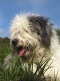 Bobtail Dog or Old English Sheepdog laying on green grass Royalty Free Stock Photos