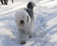 Bobtail dog over snow background Royalty Free Stock Photography