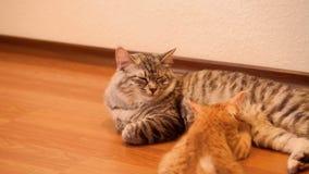 Bobtail figlarka i kot zdjęcie wideo