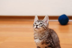 Bobtail kitten is looking up. Royalty Free Stock Images