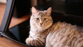 Bobtail kota patrzeć i obsiadanie zdjęcie wideo